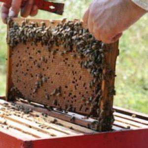 pcele-kosnice-pcelinje-zajednice-okvirima-slika-33562016-1-350x233-1-1.jpg